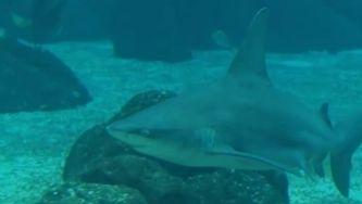 Tubarão-corre-costa, o polícia marinho