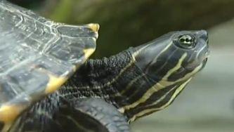 Cágados autóctones ameaçados por tartarugas exóticas