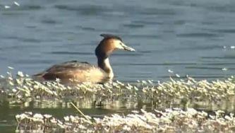 Aves aquáticas: entre o ar e a água