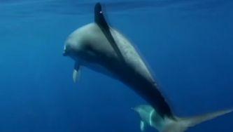 Golfinho-malhado do Atlântico