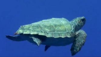 A tartaruga comum ou tartaruga-boba