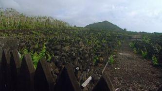 O segredo das vinhas do Pico