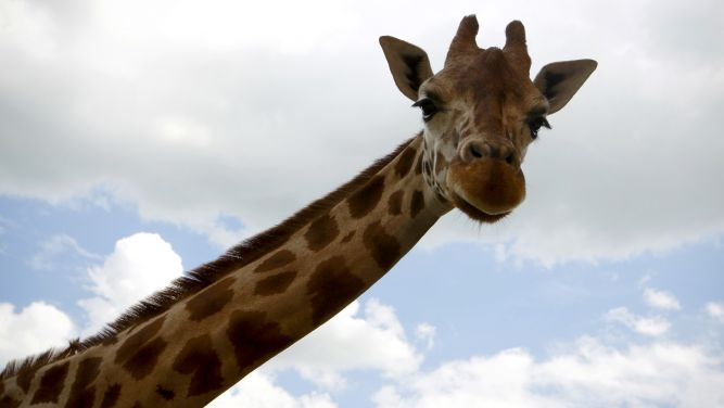 Romanos comiam girafa