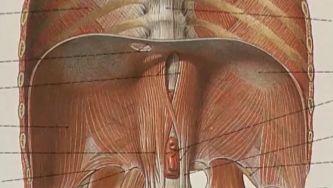 Diafragma, o músculo que ajuda a respirar