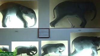 A gestação dos elefantes