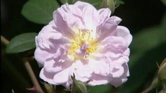 História das Rosas Antigas
