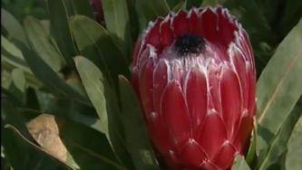 Plantas com Histórias - Proteas