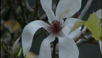 Magnólias, o perfume que veio de longe