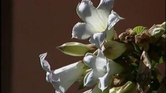 Plantas com Histórias - Glicíneas ou Lilazes