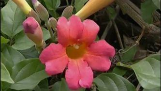 Plantas com Histórias - Trepadeiras Oriundas da América Tropical