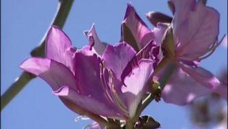 Plantas com Histórias - Árvore das Orquídeas e de Judas