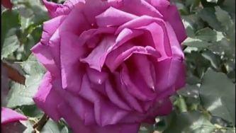 Plantas com Histórias - História das Rosas Modernas
