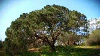 Pinheiro manso, a árvore que dá pinhões