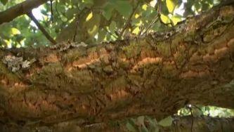 Sobreiro, a árvore da cortiça