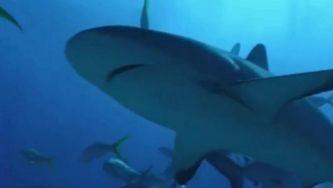 Tubarão-branco: de predador temido a espécie ameaçada
