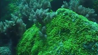 Caulerpa webbiana, uma alga invasora nos Açores