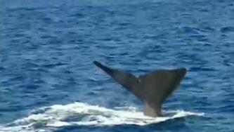 Relembrar a caça à baleia nos Açores