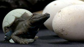 Os mais antigos ovos de crocodilo estão na Lourinhã