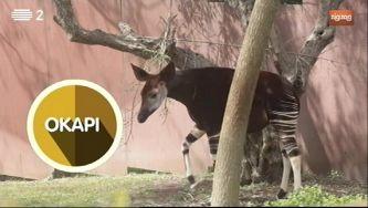 Okapi, um primo das girafas