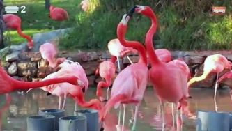 Flamingo rubro, uma ave das Caraíbas