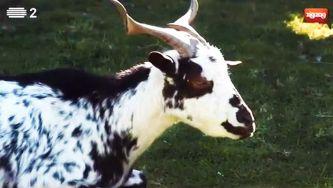 A cabra de raça algarvia, curiosa e comilona