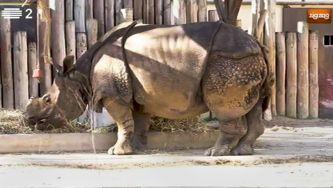 Rinoceronte indiano, um gigante que gosta de água