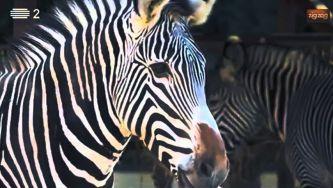 Zebra de Grevy, a maior de todas das zebras