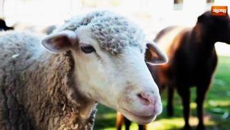 As ovelhas estão sempre agasalhadas