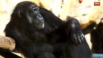 Chimpanzé, comunicar é com ele