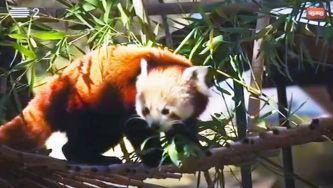 O pequeno panda vermelho
