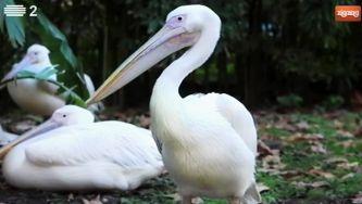 O pelicano real guarda a comida num saco