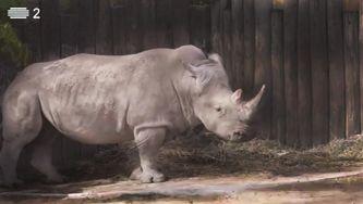 Rinoceronte branco, um gigante pacato