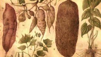 Batata, um alimento capaz de erradicar a fome no mundo