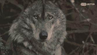 Espécies ameaçadas: quem tem medo do lobo ibérico?