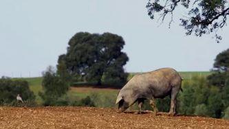 Liberdade e bolotas, os segredos do porco preto