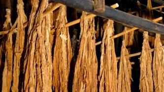 Museu do Tabaco da Maia, em São Miguel