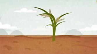 Como é que cresce o arroz e como as pessoas o colhem?