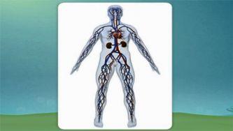 O nosso corpo: a função circulatória