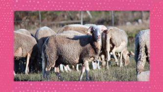 Burel: como se faz o tecido que aquece pastores?